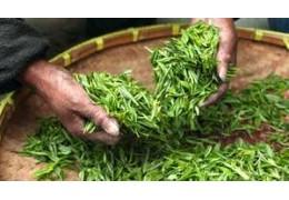 Camellia sinensis. Beneficios de la Camellia. Propiedades, usos y cultivo.