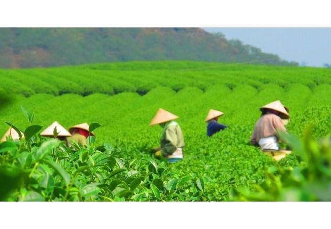 La recolección del té, un factor muy importante en su precio